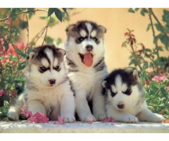The Best Pet Point offer for Siberian husky puppies for sale in Best Price