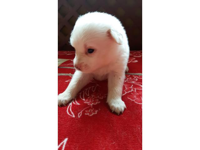 Wanted to sale 5 spitz of age 35 days call 9674166112