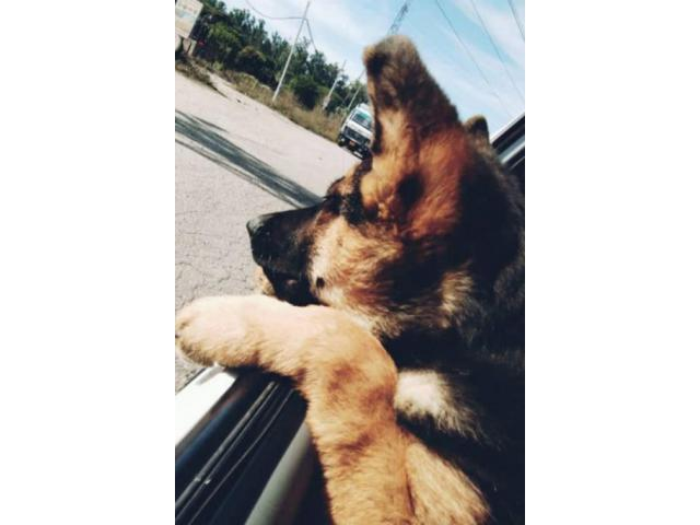 German shepherd male puppy available for sale interested buyers contact us