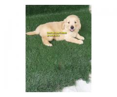 Outstanding Quality Golden Retrievers Puppy In Phagwara