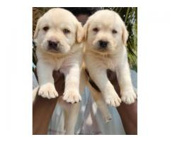 LABRADOR TOP LINEAGE PUPPIES AVAILABLE IN CHENNAI-8825694373