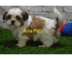 The Best Pet Point Offer For Shih tzu white Puppies For Sale In Best Price
