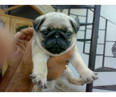 The Best Pet Point Offer For Pug Puppies For Sale In Best Price