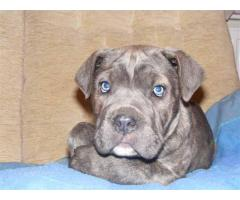 The Best Pet Point Offer For Cane Corso Puppies For Sale In Best Price