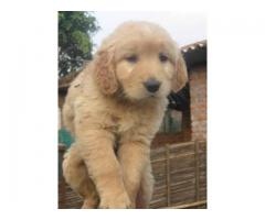 The Best Pet Point Offer For Golden Retriever Puppies For Sale In Best Price