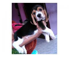 beagle puppies for sales in chennai call me on 7200040780