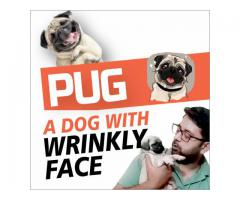 Pug Dog Breed | A dog with wrinkly face | Facts and Personality | Buy Pug Dog | Best friend of man