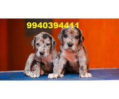 great dane puppies for sale in chennai 9940394411
