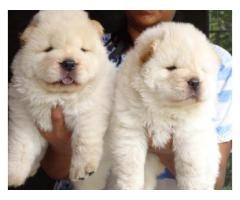 ChowChow Puppies ForSale