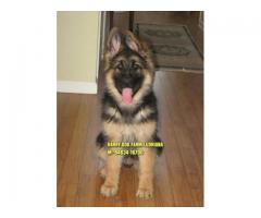 Excellent Quality German Shepherd Full Dark Rich Color Available In  Gurdaspur