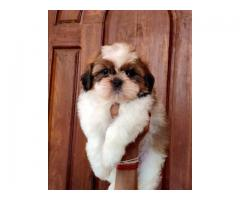 shihtzu puppies for sales in chennai call me on 7200040780
