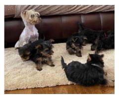 Yorkshire Terrier Puppies For Sale..