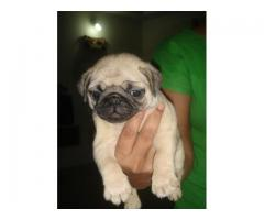 The Ultimate Quality Of Pet Shop for Pug Puppies for sale in Delhi