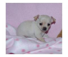 The Ultimate Quality Of Pet Shop for Chihuahua Puppies for sale in Delhi