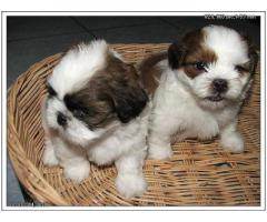 The Ultimate Quality Of Pet Shop for Shih tzu Puppies for sale in Delhi