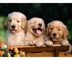 The Ultimate Quality Of Pet Shop for Golden Retriever breed Puppies for sale in Delhi