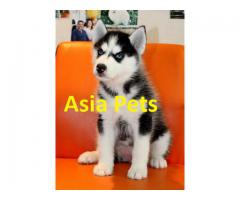 The Ultimate Quality Of Pet Shop for Siberian Husky breed Puppies for sale in Delhi