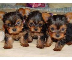 The Amazing and Unique Breed Yorkshire terrier puppies for sell in New Delhi