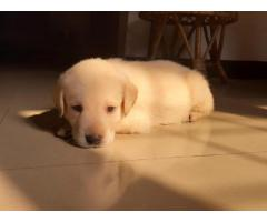 Lab Retriever for sale_35 days old