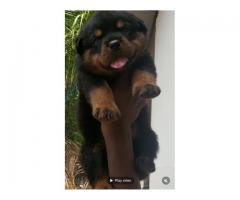 ROTWILLER SHOW QUALITY puppy available 8754615589