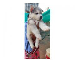 siberian Husky puppies available for sale in chennai call on 7200040780