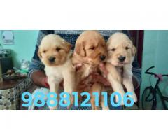 Golden retriever puppy buy in jalandhar ludhiana chandigarh patankot bhogpur