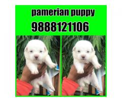 Pomeranian puppy buy in jalandhar city 9888121106