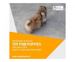 Toy Pom Puppies - 9888341827 - 30,000/-