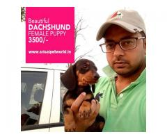 Dachshund female puppy in Delhi, Noida, Jalandhar, Chandigarh @ 3500/-