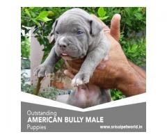 American Bully Jalandhar Dogs For Sale Adopt Buy Sell Kci