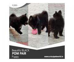 Black Color Pomeranian male and female puppies 9888341827