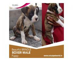 Get Brindle Color Boxer male puppy 9888341827