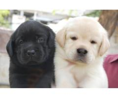 All dog breed in best price & quality in delhi 9582799502