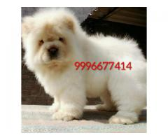 Import pedigree Chow Chow Pup available