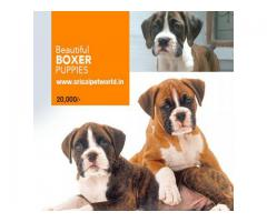 Buy Beautiful Boxer Puppies for show homes in Chandigarh & Jalandhar city