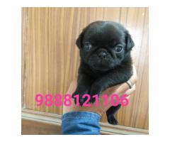 Pug puppy buy in jalandhar city