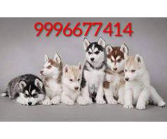 Top quality Husky puppies available