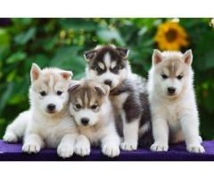 siberian husky  puppies sale in chennai call 7200040780