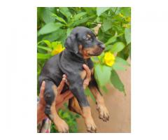 Doberman puppies for sales in chennai call me on 8122255666