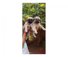 Pug puppies for sales in chennai call me on 7200040780