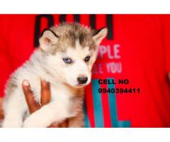 Siberian husky puppies for sale in chennai 9940394411
