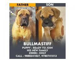 Outstanding Bullmastiff puppies looking for a new home
