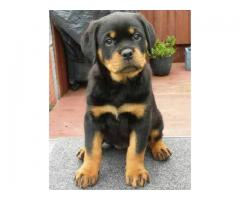Rotweiler puppies available for sale