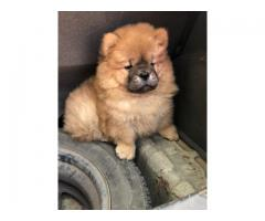 Tavaqqo Pets Store Superb Class Quality  chowchow Puppies For Sell..Call Me..#8882234770