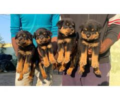 Tavaqqo Pets Store Superb Class Quality  Rottweiler Puppies For Sell..Call Me..#8882234770