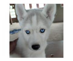 it is a very friendly and well fed dog with large bone size and blue eyes