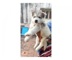 Siberian Husky puppies for sales in chennai call 9840040780