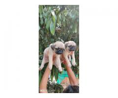Pug puppies for sales in Chennai call 9840040780