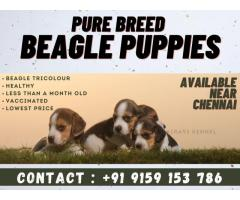 Less Than Month Old Beagle Puppies for sale