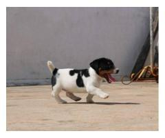 Trust Dogs Kennel Online Pet's Shop Jack Russell Puppies For Sale in Delhi